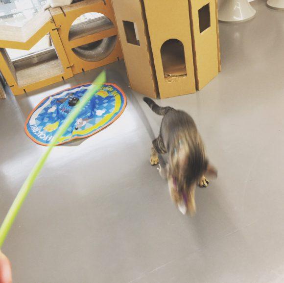 写真:「保護猫カフェ ネコリパブリック広島」猫とおもちゃ