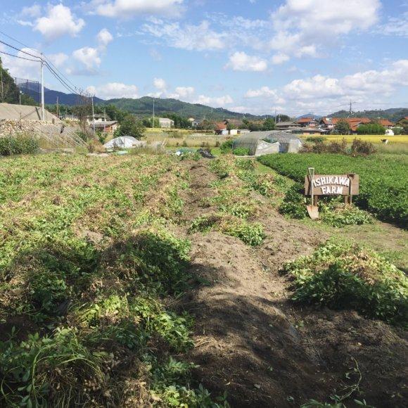 画像:落花生畑 ISHIKAWA-FARM